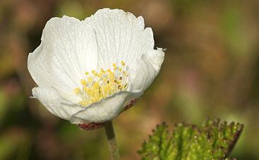 fleur femelle